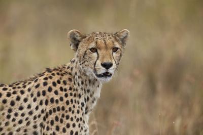 https://imgc.allpostersimages.com/img/posters/cheetah-acinonyx-jubatus-serengeti-national-park-tanzania-east-africa-africa_u-L-PWFCNE0.jpg?artPerspective=n