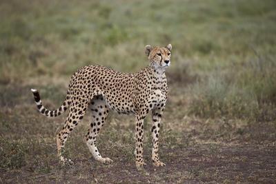 https://imgc.allpostersimages.com/img/posters/cheetah-acinonyx-jubatus-serengeti-national-park-tanzania-east-africa-africa_u-L-PWFHGH0.jpg?p=0