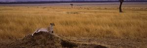 Cheetah (Acinonyx Jubatus) Sitting On a Mound, Masai Mara National Reserve, Kenya