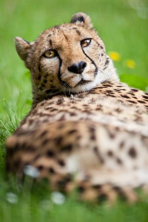 https://imgc.allpostersimages.com/img/posters/cheetah-acinonyx-jubatus_u-L-Q10389M0.jpg?artPerspective=n