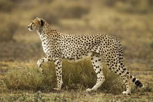 Cheetah at Ngorongoro Conservation Area, Tanzania