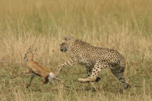 Cheetah Chasing Thomson's Gazelle
