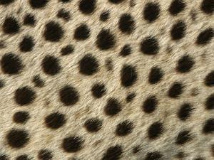 Cheetah, Close-Up of Fur / Coat, Showing Spot Pattern
