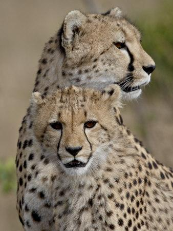 https://imgc.allpostersimages.com/img/posters/cheetah-cub-and-mother-masai-mara-national-reserve_u-L-P91GMN0.jpg?p=0