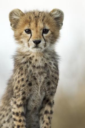 https://imgc.allpostersimages.com/img/posters/cheetah-cub_u-L-PZMP940.jpg?p=0