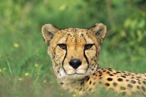 Cheetah Male, in Rainy Season with Green Vegatation
