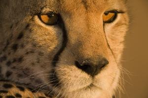 Cheetah, Masai Mara Game Reserve, Kenya