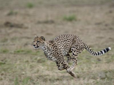 https://imgc.allpostersimages.com/img/posters/cheetah-masai-mara-national-reserve-kenya-east-africa-africa_u-L-P7NR4W0.jpg?artPerspective=n