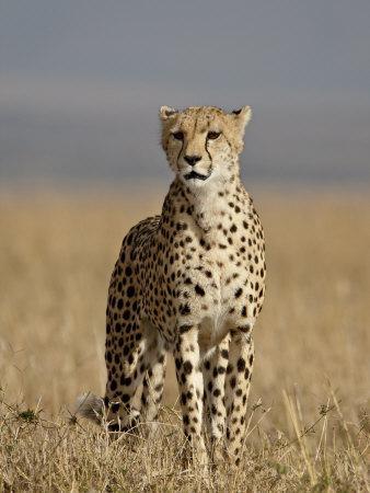 https://imgc.allpostersimages.com/img/posters/cheetah-masai-mara-national-reserve-kenya-east-africa-africa_u-L-P91IOF0.jpg?artPerspective=n