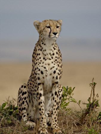 https://imgc.allpostersimages.com/img/posters/cheetah-masai-mara-national-reserve-kenya-east-africa-africa_u-L-P91IPB0.jpg?p=0