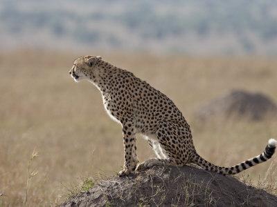 https://imgc.allpostersimages.com/img/posters/cheetah-sitting-on-an-old-termite-mound-masai-mara-national-reserve_u-L-P91ILR0.jpg?p=0