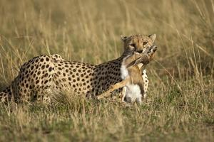 Cheetah with Baby Thomson's Gazelle