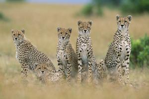 Cheetahs X Five Sitting in Line