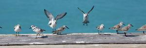 Birds Landing in a Row, Caribbean by Chel Beeson