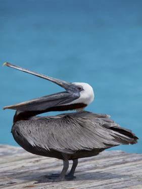 Brown Pelican Dock, Caribbean by Chel Beeson
