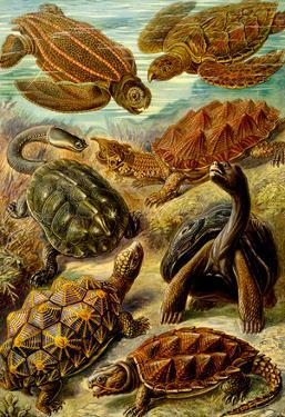 Chelonia Nature Art Print Poster by Ernst Haeckel
