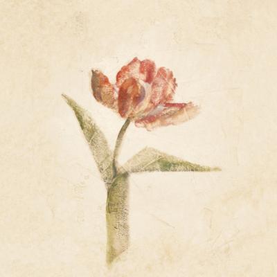 Flaming Parrot Tulip on White Crop by Cheri Blum