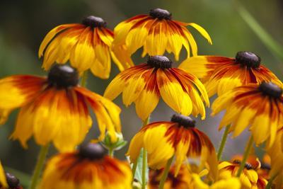 https://imgc.allpostersimages.com/img/posters/cherokee-sunset-cone-flowers-in-bloom-seattle-washington-usa_u-L-PN72B80.jpg?p=0