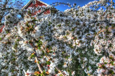 https://imgc.allpostersimages.com/img/posters/cherry-blossom-barn_u-L-Q10PKW30.jpg?p=0