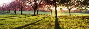 Cherry Blossom in a Park at Dawn, Stray, Harrogate, North Yorkshire, England