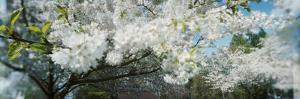 Cherry Blossom Tree in a Park, Volunteer Park, Capitol Hill, Seattle, Washington State, USA