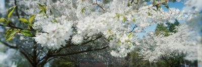 https://imgc.allpostersimages.com/img/posters/cherry-blossom-tree-in-a-park-volunteer-park-capitol-hill-seattle-washington-state-usa_u-L-P8WLJP0.jpg?artPerspective=n