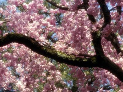https://imgc.allpostersimages.com/img/posters/cherry-blossom-tree-in-bloom-tokyo-japan_u-L-P23ZR60.jpg?p=0