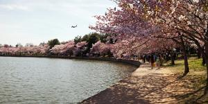 Cherry Blossom Trees at Tidal Basin, Washington Dc, USA