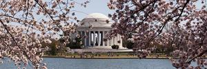 Cherry Blossom Trees in the Tidal Basin with the Jefferson Memorial in the Background