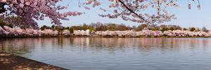 Cherry Blossom Trees Near Martin Luther King Jr. National Memorial, Washington Dc, USA