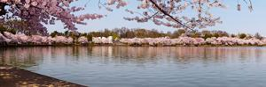 Cherry Blossom Trees Near Martin Luther King Jr. National Memorial, Washington Dc, USA