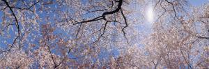Cherry Blossom Trees, Washington DC, USA
