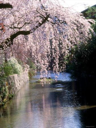 Cherry Blossoms and a River