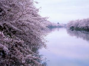 Cherry Blossoms and Moat