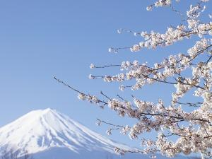 Cherry blossoms and Mt. Fuji, Japan