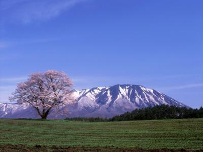 Cherry Blossoms and Mt. Iwate