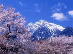 Cherry Blossoms and Mt. Kaikoma