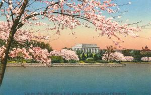 Cherry Blossoms, Lincoln Memorial, Washington D.C.