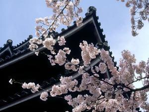 Cherry Blossoms, Matsue Castle, Shimane, Japan