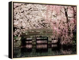 Cherry Blossoms, Mishima Taisha Shrine, Shizuoka