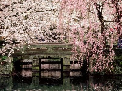 https://imgc.allpostersimages.com/img/posters/cherry-blossoms-mishima-taisha-shrine-shizuoka_u-L-Q10W3Z20.jpg?artPerspective=n