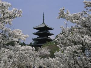 Cherry Blossoms, Ninna-Ji Temple Grounds, Kyoto, Japan