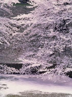 Cherry Blossoms Over the Moat