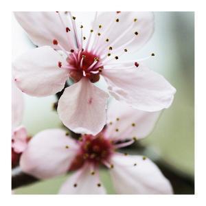 Cherry Flower 2