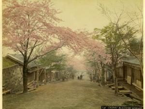 Cherry Trees are in Blossom in Spring in This Japanese Village Street