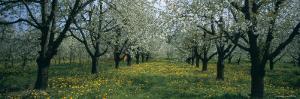 Cherry Trees in a Forest, Kaiserstuhl, Konigschaffhausen, Germany