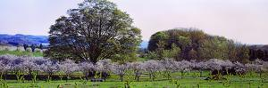 Cherry Trees in an Orchard, Michigan, USA