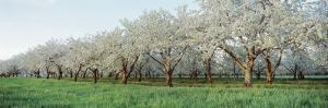 Cherry Trees in an Orchard, Mission Peninsula, Traverse City, Michigan, USA