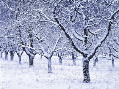 https://imgc.allpostersimages.com/img/posters/cherry-trees-winter-snow-detail-bald-leafless-germany-winter-scenery-frost-season_u-L-Q11YZ6V0.jpg?p=0