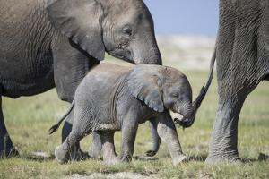 African Elephant (Loxodonta Africana) Baby Trying to Grab the Tail of Adult by Cheryl-Samantha Owen